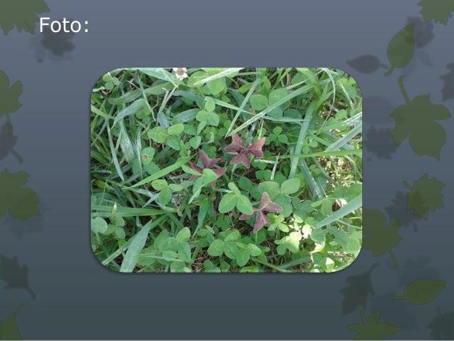 Características generales:• Produce semillas al ser fecundadas artificialmente con su propio  polen.• perenne.• Tallo: ras...
