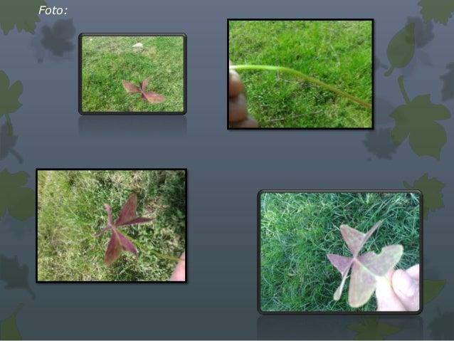 Morfología• Planta: perenne.• Raíz principal :profunda. Tres tipos de sistema de raíces:   1. Sistema ordinario de raíz pr...