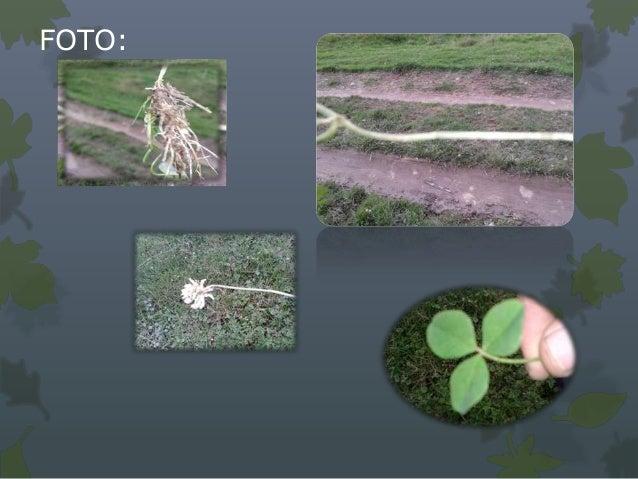 AprovechamientoHill K, Jarvis-Eagan N et al(1991) Su importancia como forraje de alta calidad  cultivado en más de 32 mil...