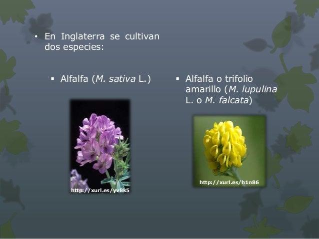  Especie perenne, también llamada alfalfa  amarilla, alfalfa de flor o alfalfa de hoz. Nativa de la cuenca del Mediterrá...
