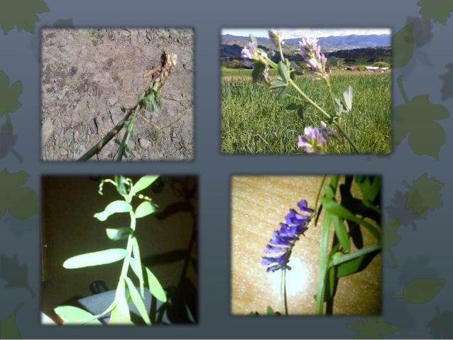 OrigenPlantas silvestres, se encuentra en regiones de Europa en elsur, cultivado hoy en día en todo el mundo, por su capac...