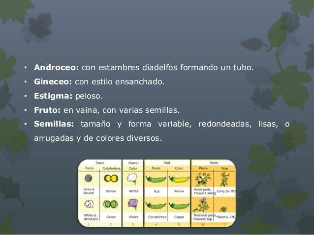 Aprovechamiento• Se cultiva para la alimentación del hombre, utilizando las  semillas secas o tiernas. Tiene toxicidad que...