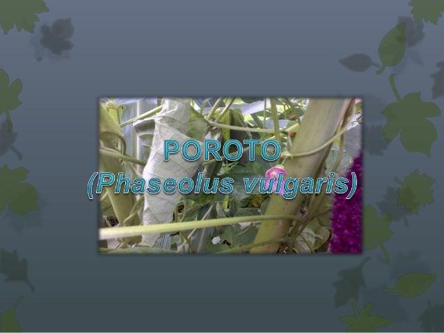 Origen• Comprende mas de 60 especies, repartidas por los trópicos.• Parece originaria de los centros de China e India segú...