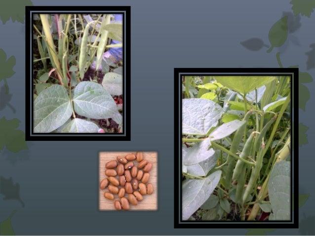 • Planta anual cultivada probablemente por primera vez  en África Occidental que se cultiva en gran parte de  Asia y Améri...