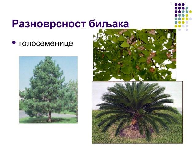 Разноврсност биљака  голосеменице