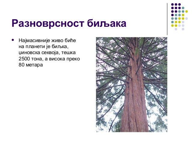 Разноврсност биљака  Најмасивније живо биће на планети је биљка, џиновска секвоја, тешка 2500 тона, а висока преко 80 мет...