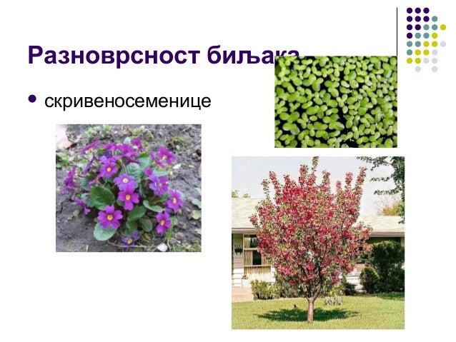 Разноврсност биљака  скривеносеменице