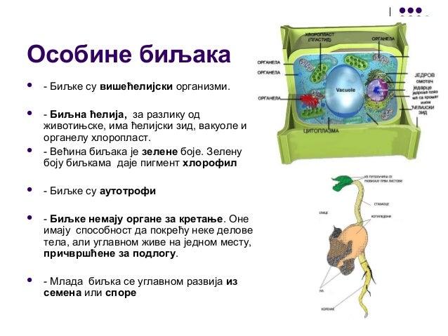 Особине биљака  - Биљке су вишећелијски организми.  - Биљна ћелија, за разлику од животињске, има ћелијски зид, вакуоле ...