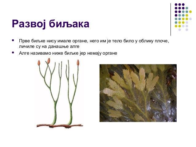 Развој биљака  Прве биљке нису имале органе, него им је тело било у облику плоче, личиле су на данашње алге  Алге назива...
