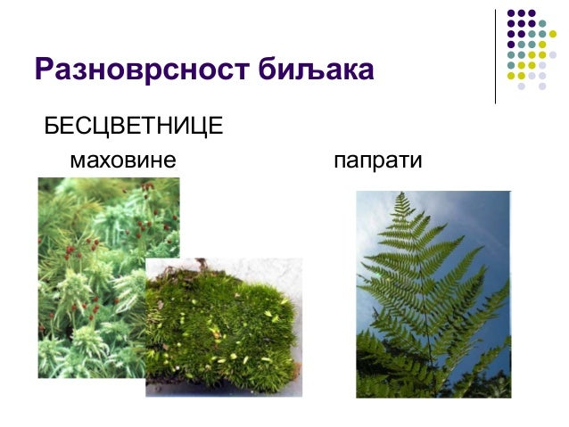 Разноврсност биљака БЕСЦВЕТНИЦЕ маховине папрати