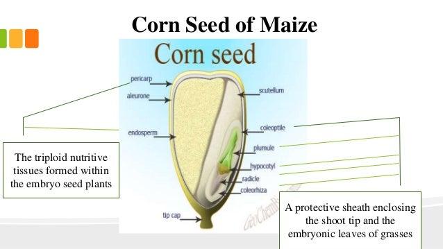seed kernel diagram wiring diagram online Wheat Diagram corn seed diagram data wiring diagram schematic corn anatomy diagram seed kernel diagram