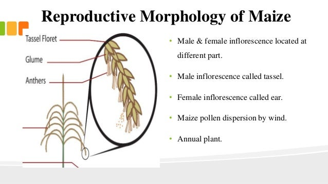 Corn reproductive diagram auto wiring diagram today botany of maize rh slideshare net male reproductive diagram circulatory system diagram ccuart Images