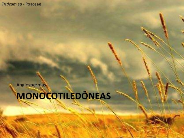 Triticum sp - Poaceae  Angiospermas  MONOCOTILEDÔNEAS