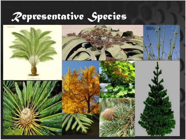 What are some economic uses of gymnosperms?