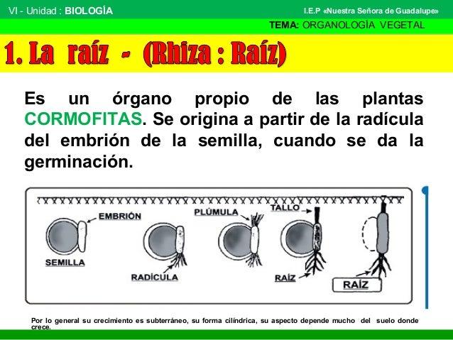 VI - Unidad : BIOLOGÍA TEMA: ORGANOLOGÍA VEGETAL I.E.P «Nuestra Señora de Guadalupe» Es un órgano propio de las plantas CO...