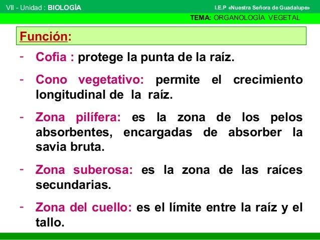 VII - Unidad : BIOLOGÍA TEMA: ORGANOLOGÍA VEGETAL I.E.P «Nuestra Señora de Guadalupe» Función: - Cofia : protege la punta ...