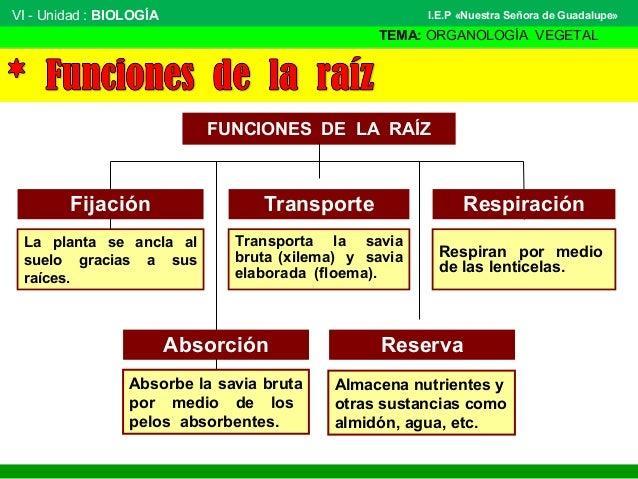 VI - Unidad : BIOLOGÍA TEMA: ORGANOLOGÍA VEGETAL I.E.P «Nuestra Señora de Guadalupe» FUNCIONES DE LA RAÍZ Transporta la sa...