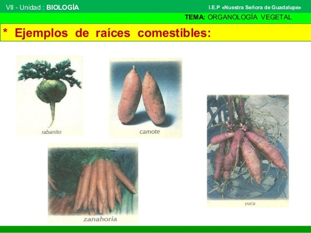 VII - Unidad : BIOLOGÍA TEMA: ORGANOLOGÍA VEGETAL I.E.P «Nuestra Señora de Guadalupe» * Ejemplos de raíces comestibles:
