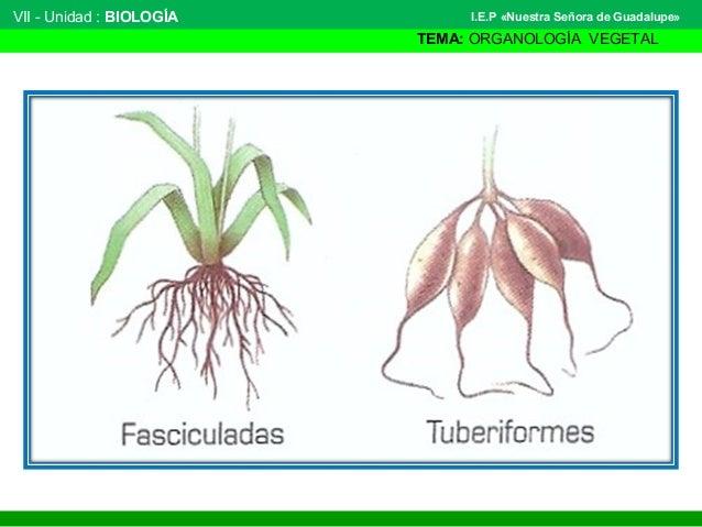 VII - Unidad : BIOLOGÍA TEMA: ORGANOLOGÍA VEGETAL I.E.P «Nuestra Señora de Guadalupe»