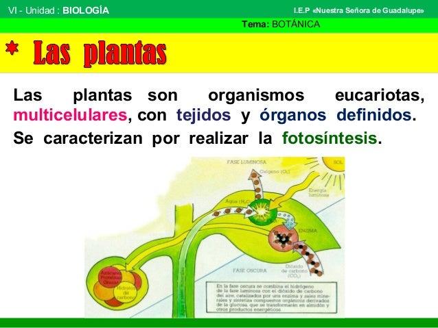 VI - Unidad : BIOLOGÍA Tema: BOTÁNICA I.E.P «Nuestra Señora de Guadalupe» Las plantas son organismos eucariotas, multicelu...