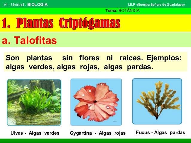 VI - Unidad : BIOLOGÍA Tema: BOTÁNICA I.E.P «Nuestra Señora de Guadalupe» a. Talofitas Son plantas sin flores ni raíces. E...