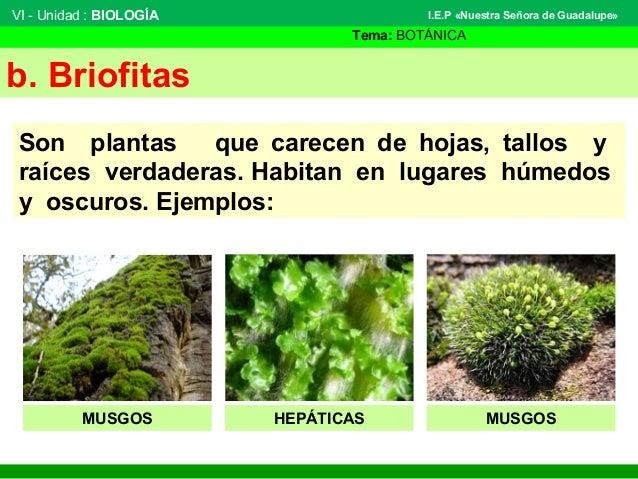 VI - Unidad : BIOLOGÍA Tema: BOTÁNICA I.E.P «Nuestra Señora de Guadalupe» b. Briofitas Son plantas que carecen de hojas, t...