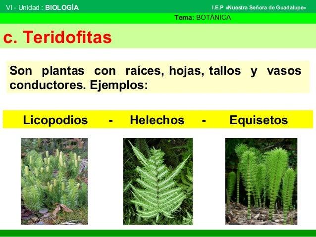 VI - Unidad : BIOLOGÍA Tema: BOTÁNICA I.E.P «Nuestra Señora de Guadalupe» c. Teridofitas Son plantas con raíces, hojas, ta...