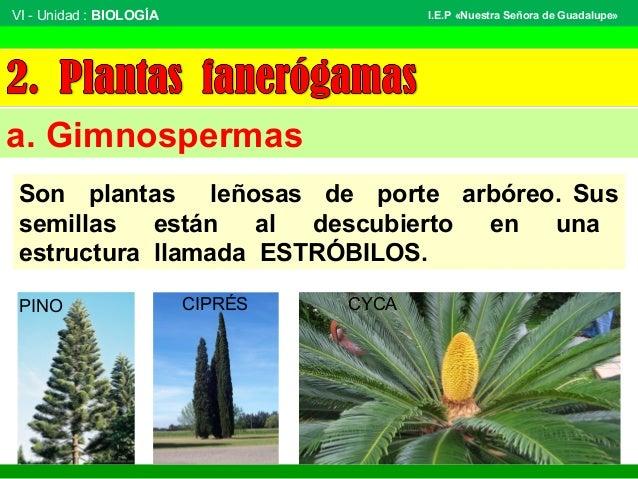 VI - Unidad : BIOLOGÍA Tema: BOTÁNICA I.E.P «Nuestra Señora de Guadalupe» a. Gimnospermas Son plantas leñosas de porte arb...