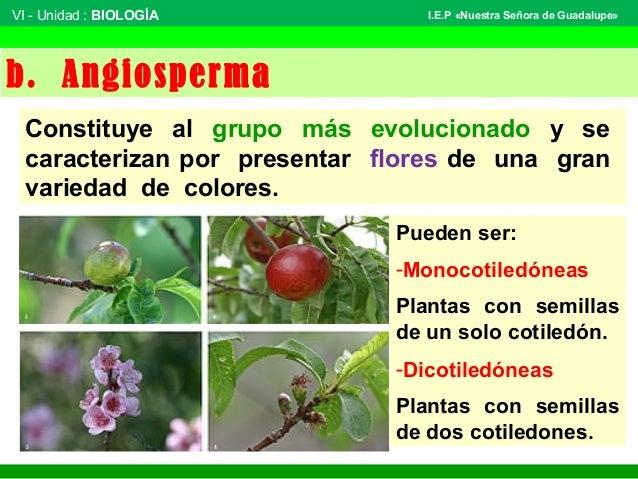 VI - Unidad : BIOLOGÍA Tema: BOTÁNICA I.E.P «Nuestra Señora de Guadalupe» b. Angiosperma Constituye al grupo más evolucion...