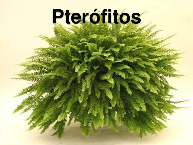 plantas vasculares sin semilla