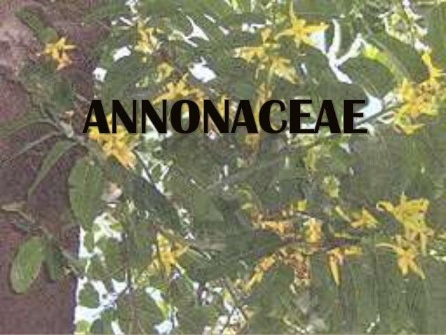  Las anonáceas (Annonaceae) son una familia de angiospermas (plantas con flores) del orden Magnoliales.  Tienden a ser á...