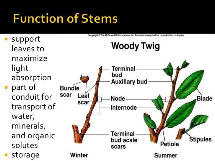 ROOT & STEM MORPHOLOGY