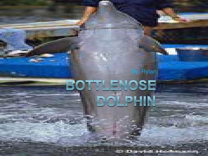 Bottlenose Dolphin<br />By: Rylan<br />