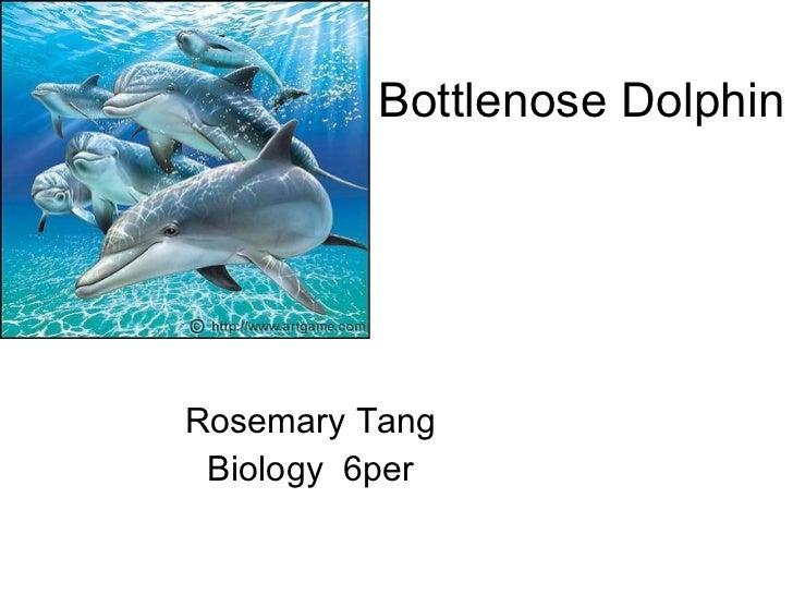 Bottlenose Dolphin Rosemary Tang Biology  6per
