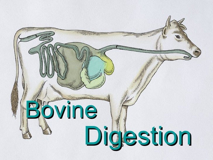 Cow Digestive Tract: Bovine Digestion