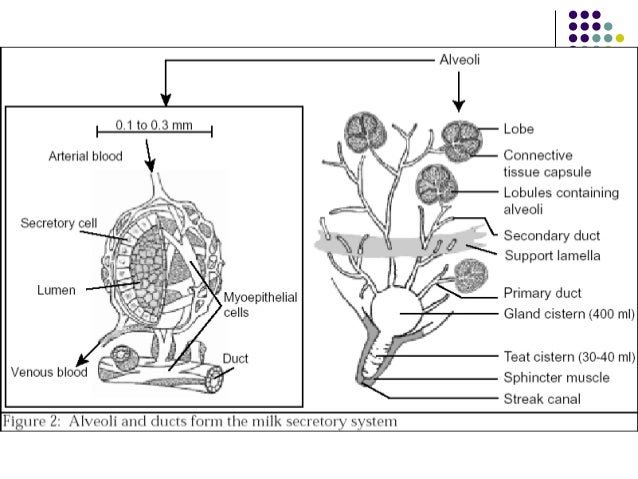 Anatomy of mammary gland of cow