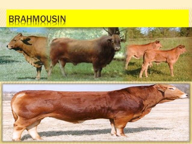 Brahmousin