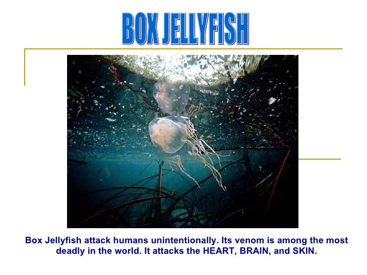 BOX JELLYFISH Box Jellyfish attack humans unintentionally. Its venom is among the most deadly in the world. It attacks the...