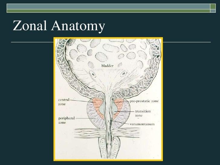 Testicular Cancer Anatomy