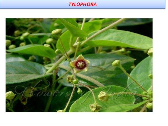 Uses Bronchial asthama, bronchitis, rheumatism, Dermatitis ,emetic, diphoretic,( induce sweting) anti inflammatory, antiba...