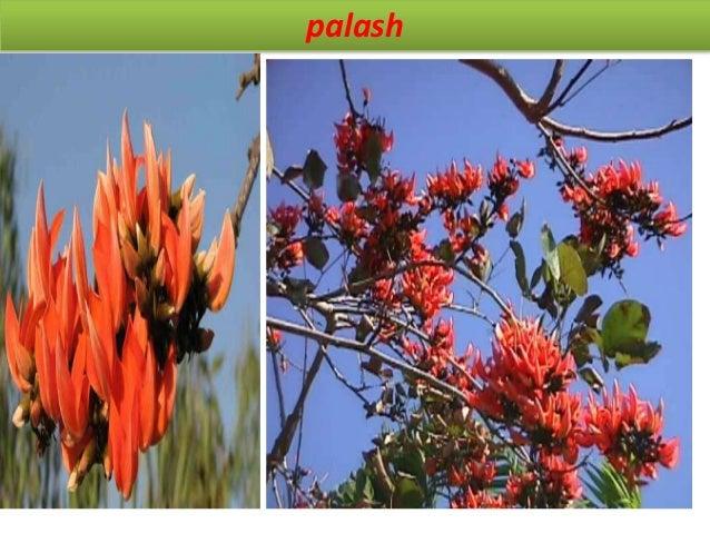 Guggal Synonym gumgugul, salai-gogil regional names sansk- purd, kaugika, hindi- gugal, guggui, mar- guggul BS it consist ...