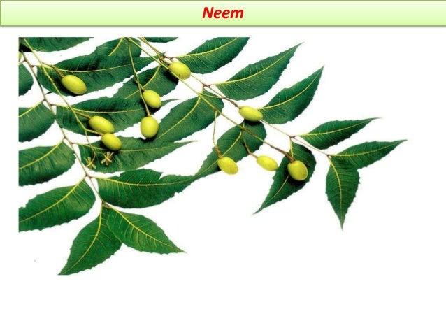 Gymnema Synonym Gymnema sylvester regional names sansk- meshashring, hind- gurmar, mar- kavali, vakundai BS It consist of ...