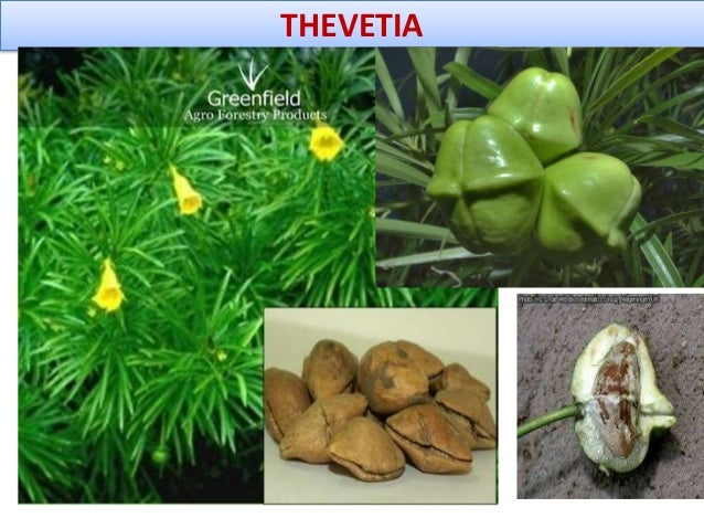 THEVETIA