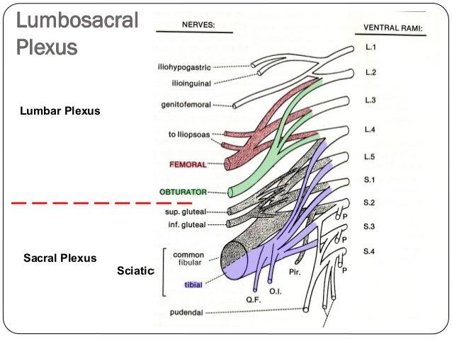 lumbar plexus