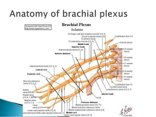 brachial plexopathy, Skeleton