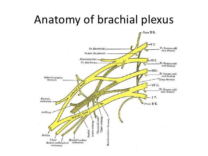 brachial plexus diagram quiz - photo #11