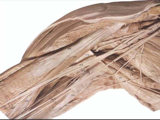 Brachial plexus Anatomy and Clinical Implications