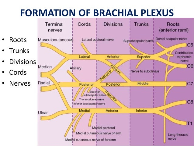 brachial plexus Brachial plexus palsy occurs during the childbirth process the newborn's nerves  can be stretched, compressed or torn from the force exerted to pull them from.