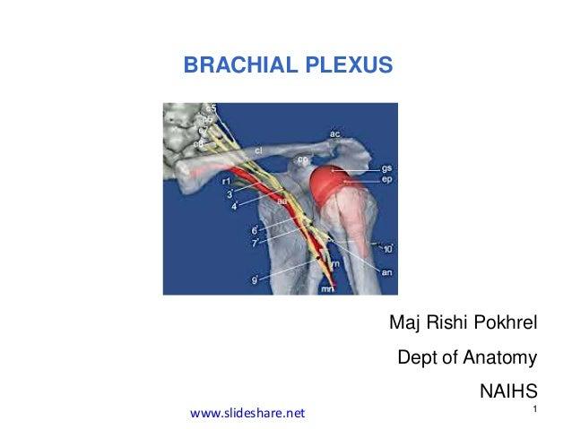 BRACHIAL PLEXUS Maj Rishi Pokhrel Dept of Anatomy NAIHS 1 www.slideshare.net
