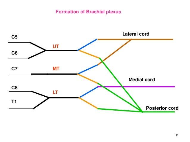 Easy Diagram Of Brachial Plexus - Wiring Diagram For Light Switch •